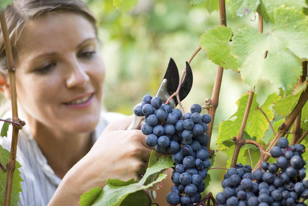 Possible health benefits of grapes